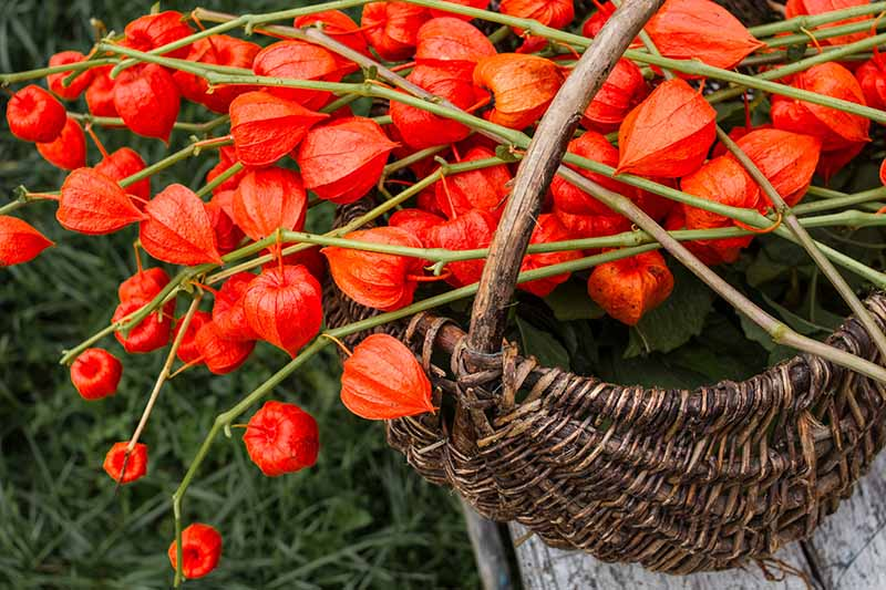A close up horizontal image of stems of Chinese lantern (Alkekengi officinarum) covered in bright red fruits set in a wicker basket.