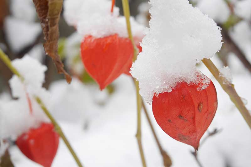 A close up horizontal image of bright red Alkekengi officinarum fruits covered in a dusting of snow.