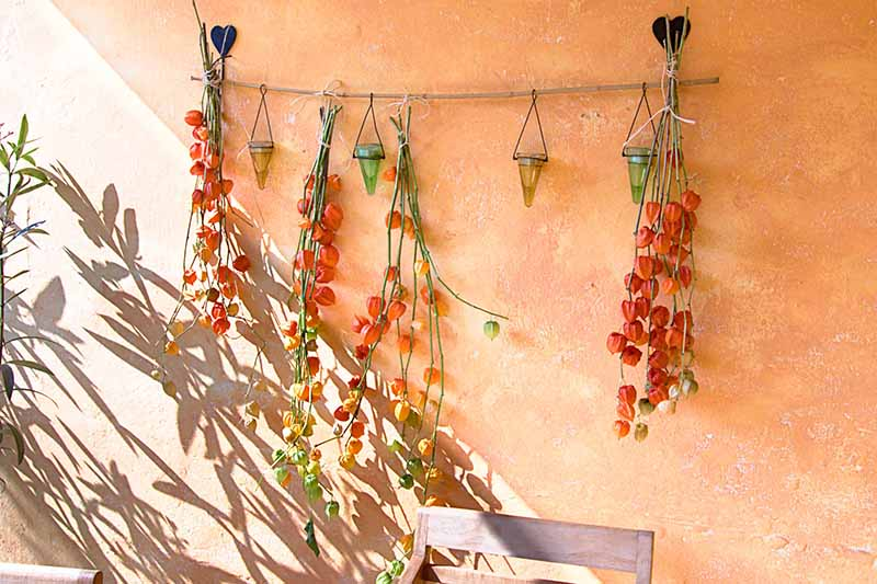A close up horizontal image of stems of Chinese lantern hanging upside down on a porch.