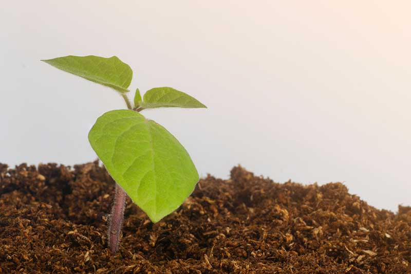 A close up horizontal image of a Chinese lantern seedling growing in peat moss pictured on a white background.