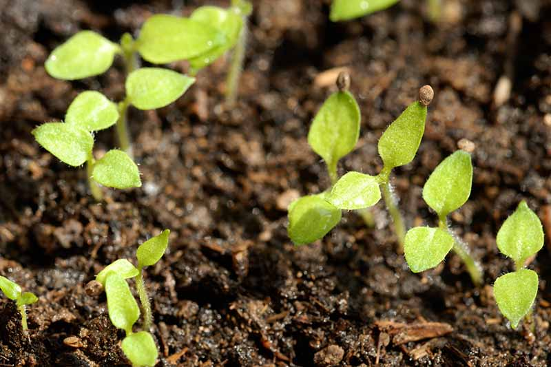 A close up horizontal image of small Chinese lantern seedlings growing in dark, rich soil.