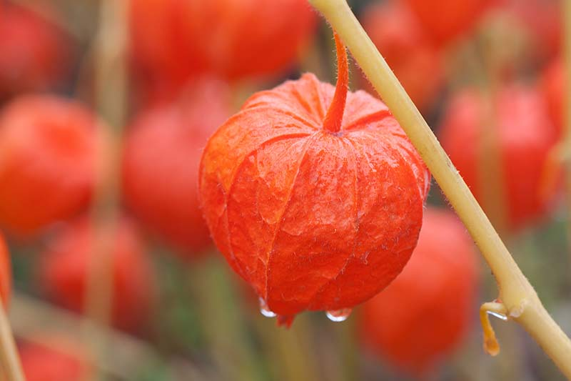 A close up horizontal image of a bright red bladder cherry (Alkekengi officinarum) with droplets of water on the fruit and stem.