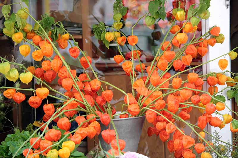 A close up horizontal image of Chinese lantern stems with bright red fruits set in a metal bucket.
