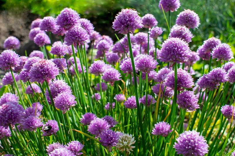A mass planting of chives with purple blossoms.