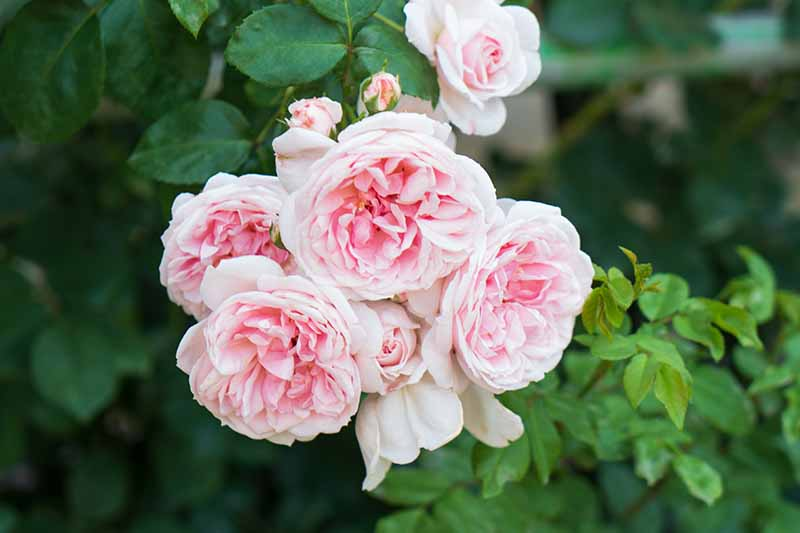 A close up horizontal image of light pink 'Cinderella' roses growing in the garden pictured on a soft focus background.