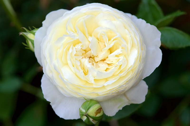 A close up horizontal image of a yellow-ish white 'Claire Austin' flower pictured on a soft focus background.
