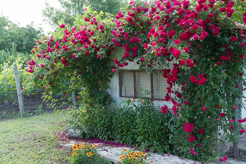 A horizontal image of a quaint country cottage festooned with bright red climbing roses.