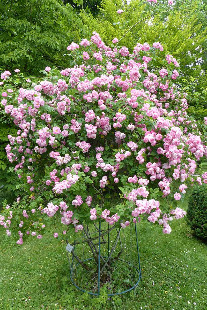 A close up vertical image of a climbing rose growing in the garden covered in an abundance of pink flowers.