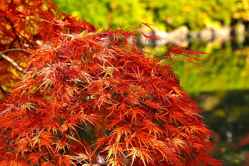 A close up horizontal image of the foliage of Acer palmatum growing in the garden pictured in light sunshine on a soft focus background.