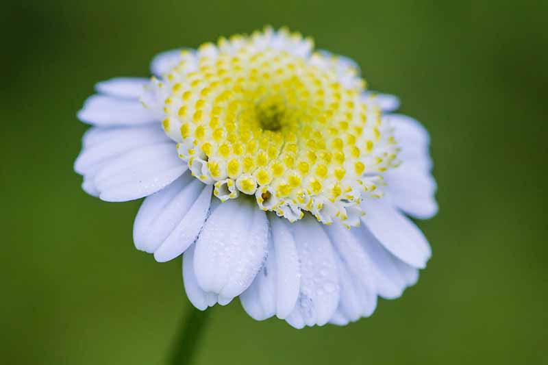 A close up horizontal image of a white Tanacetum parthenium flower with a yellow center pictured on a green soft focus background.
