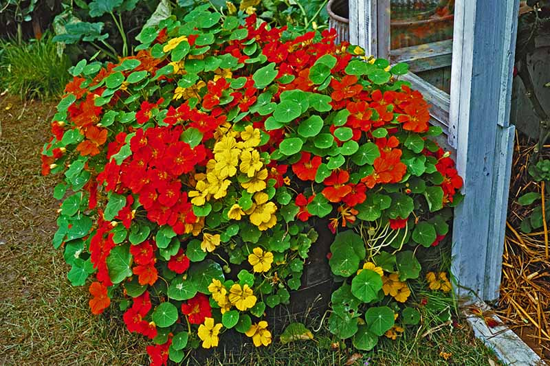 A close up horizontal image of yellow and red nasturtium flowers spilling over the side of a container set outside a garden shed.