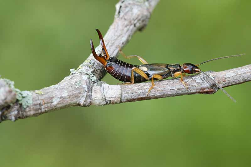 A close up horizontal image of a common earwig (Forficula auricularia) crawling along the branch of a tree pictured on a soft focus green background.