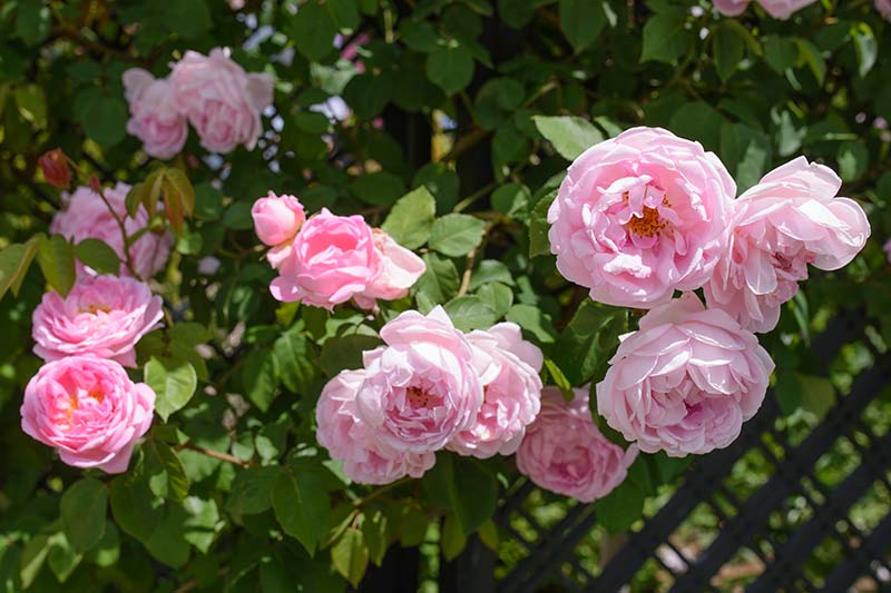 A close up horizontal image of pink 'Constance Spry' flowers growing in the garden.