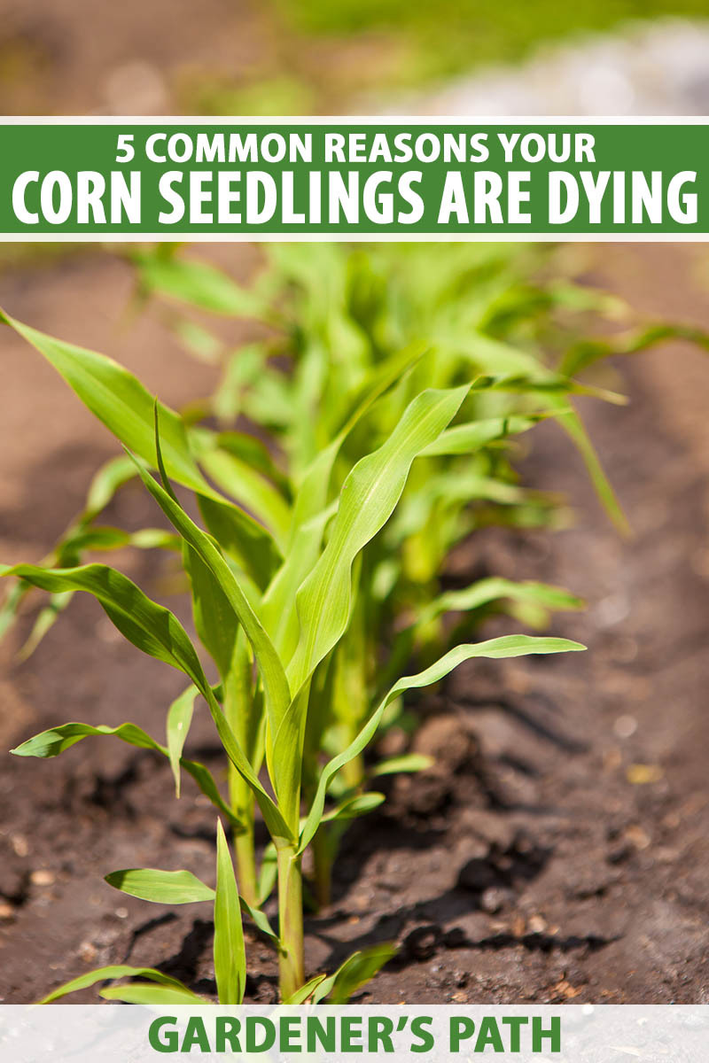 A close up vertical image of a row of corn seedlings growing in the garden pictured in bright sunshine fading to soft focus in the background. To the top and bottom of the frame is green and white printed text.