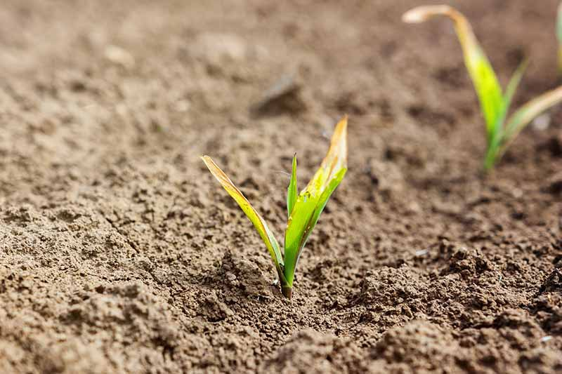 A close up horizontal image of a small corn seedling growing in the garden that has suffered from frost damage.