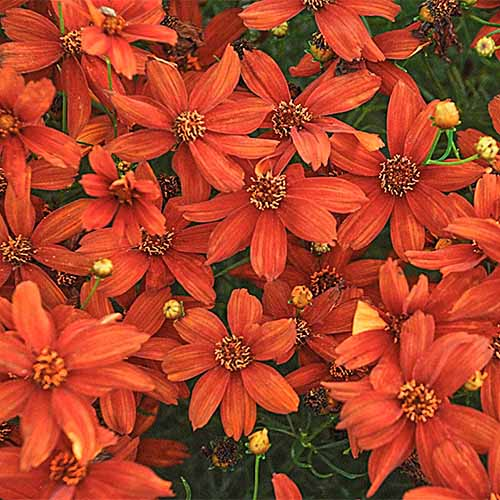 A close up square image of orange 'Crazy Cayenne' flowers growing in the garden.