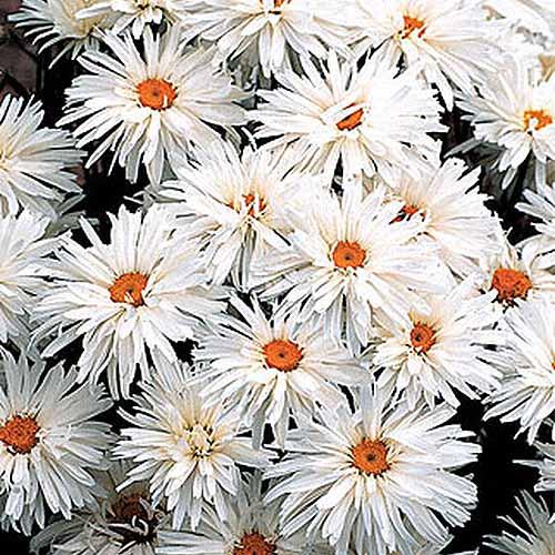 A close up square image of Leucanthemum x superbum 'Crazy Daisy' flowers.