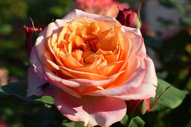 A close up horizontal image of a light orange 'Crazy Love' hardy rose growing in the garden pictured in bright sunshine on a soft focus background.