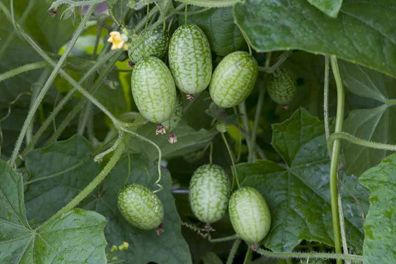 A close up horizontal image of cucamelons growing on the vine.