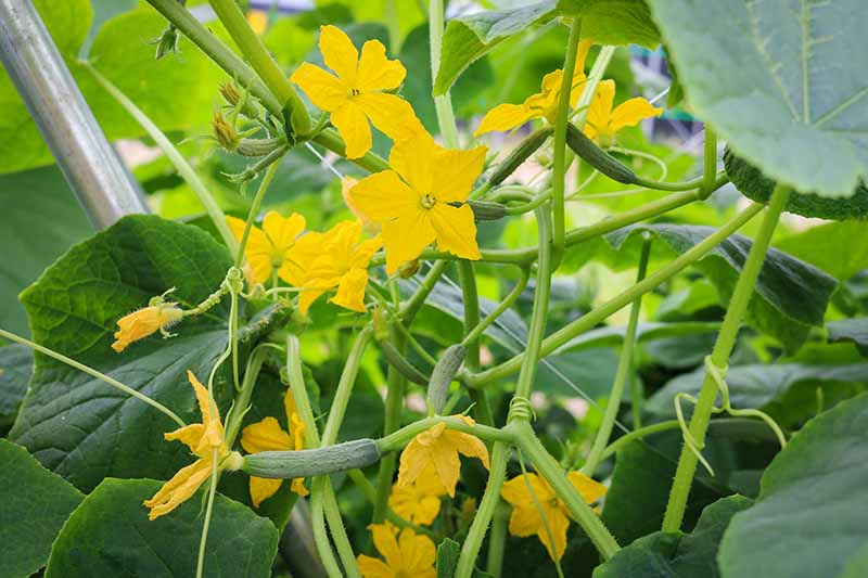A close up horizontal image of a cucumber plant will plenty of flowers and tiny fruit.