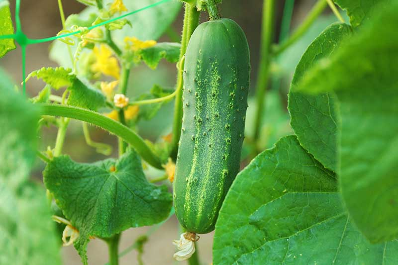 A close up horizontal image of a cucumber growing in the garden pictured on a soft focus background.