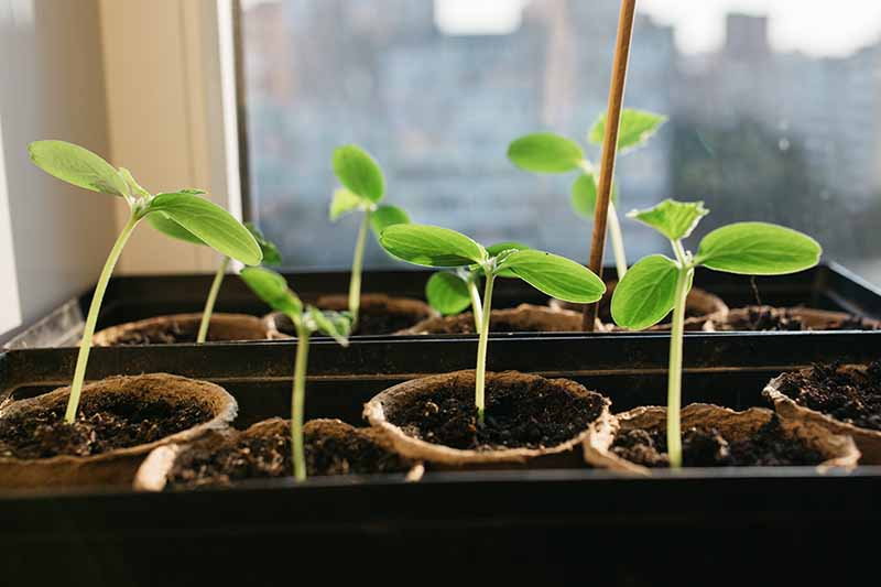 A close up horizontal image of small biodegradable pots growing seedlings on a sunny windowsill.