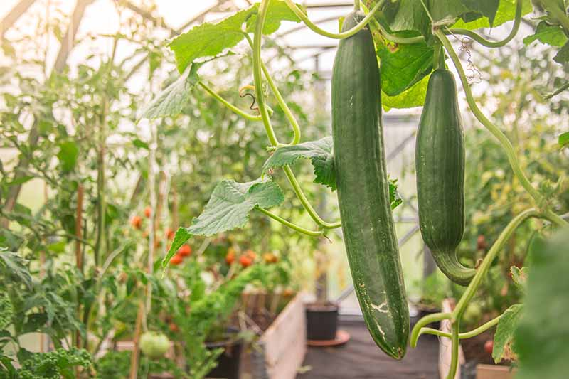 A close up horizontal image of cucumbers growing in a greenhouse with a variety of different vegetables in raised beds.