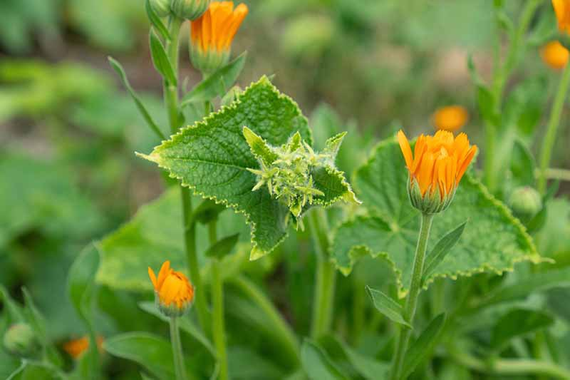 A close up horizontal image of cucumber plants growing with pot marigold (calendula) flowers pictured on a soft focus background.