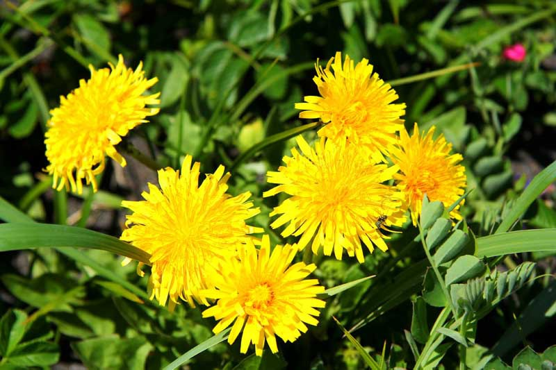 A cluster of six yellow dandelions flowers.