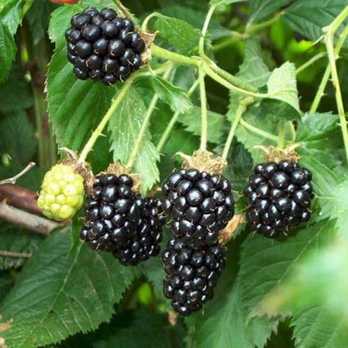 A close up square image of the ripe fruits of Rubus 'Darrow' growing in the garden with foliage in soft focus in the background.