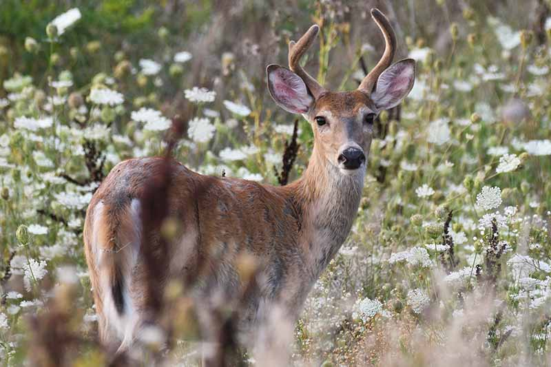 A close up horizontal image of a whitetail deer in a field of wild carrot.