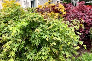 A Guide to the Different Types of Japanese Maple Trees