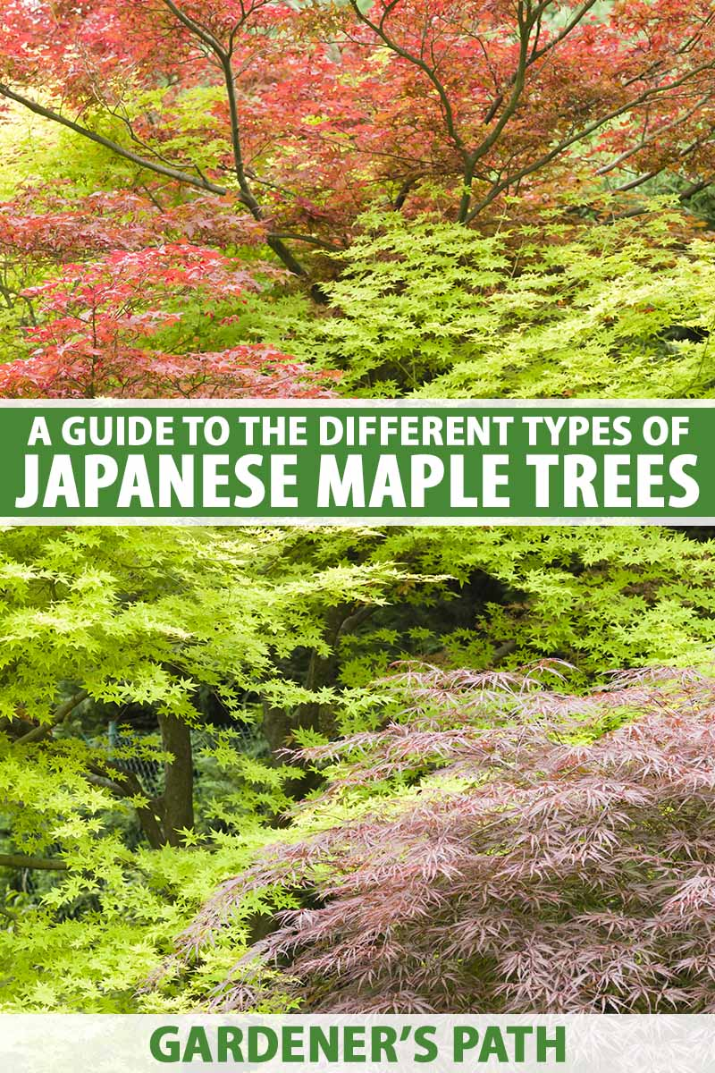 A vertical image of a garden planted with a variety of different Japanese maple trees with different colored foliage. To the center and bottom of the frame is green and white printed text.