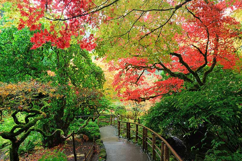 A horizontal image of a path through a Japanese garden planted with maple trees.