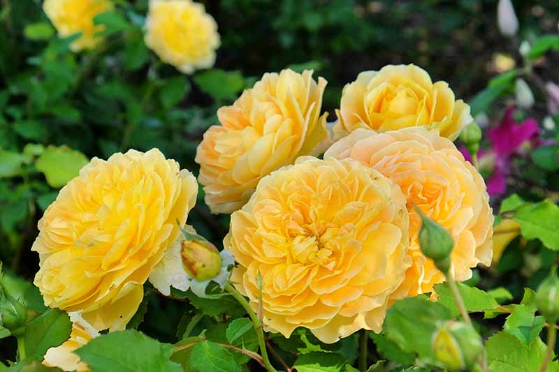 A close up horizontal image of bright yellow shrub roses blooming in the garden pictured on a soft focus background.