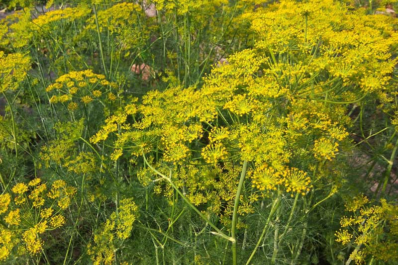 Dill plants with yellow flowers.