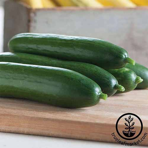 A close up square image of a pile of 'Diva' cucumbers set on a wooden chopping board. To the bottom right of the frame is a black circular logo with text.