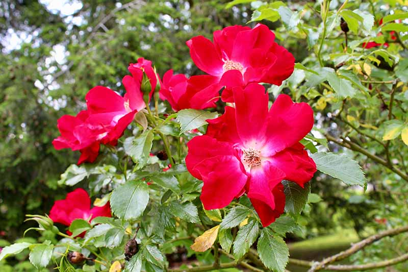 A close up horizontal image of bright red 'Dortmund' flowers growing in the garden.