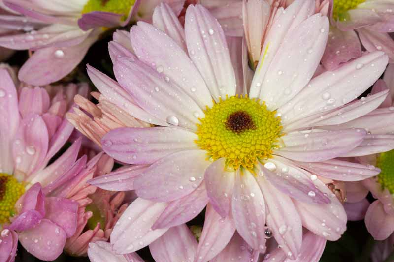 A close up horizontal image of a double petaled pink Bellis perennis flower with droplets of water on the petals.