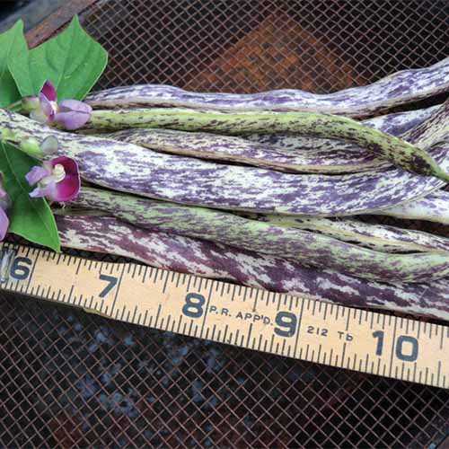 A close up square image of freshly harvested 'Dragon's Tongue' beans set on a metal surface with a measuring tape to the bottom of the frame.