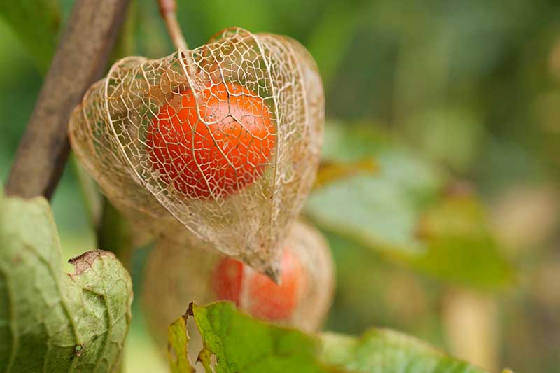 A close up horizontal image of a Chinese lantern fruit enclosed in a dry husk pictured on a soft focus background.