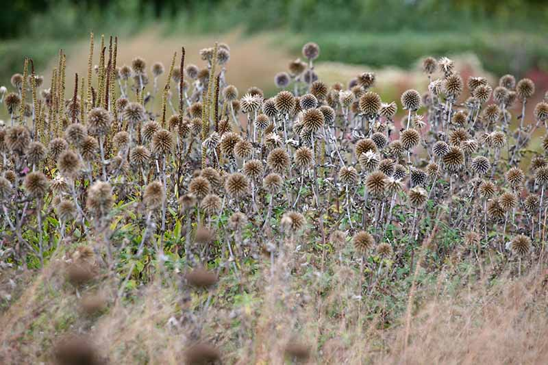 A close up horizontal image of the dried flower heads of small globe thistle (Echinops ritro) growing in the garden.