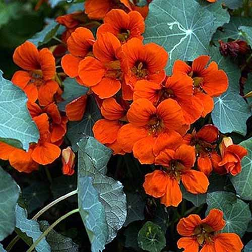 A close up square image of Tropaeolum 'Empress of India' with red flowers contrasting with dark green foliage.