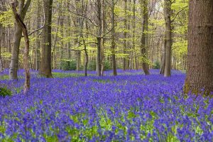 How to Grow and Care for English Bluebells
