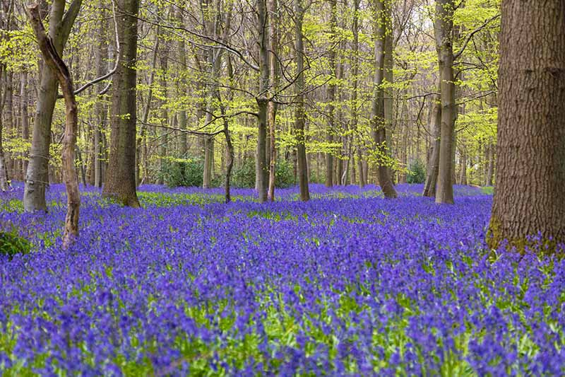 A horizontal image of an English woodland in spring with a carpet of bluebells under the trees.