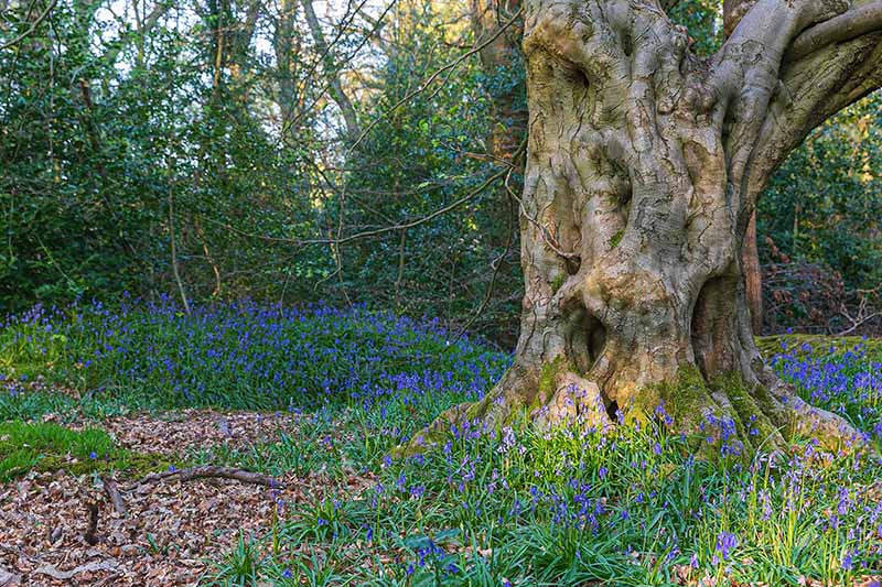 A horizontal image of a large tree in an English woodland with a carpet of bluebells growing underneath.