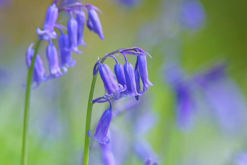 A close up horizontal image of the bright blue flowers of Hyacinthoides non-scripta pictured on a soft focus background.