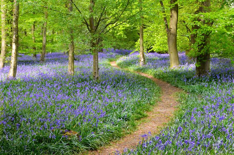 A horizontal image of a carpet of Hyacinthoides non-scripta flowers growing either side of a path through a forest.