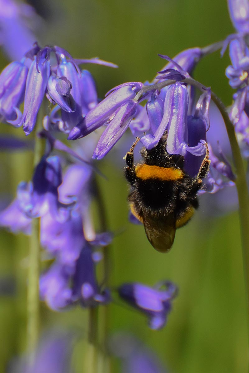 A close up vertical image of a bee feeding from an English bluebell flower pictured on a soft focus green background.