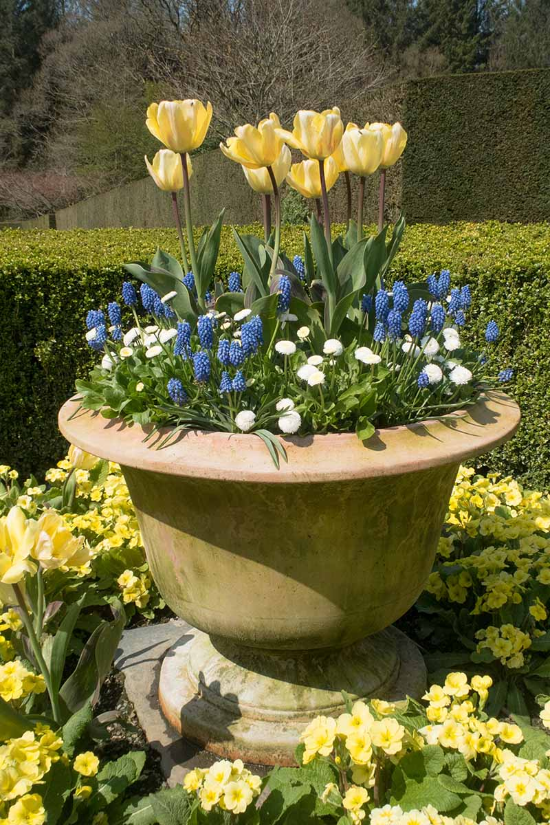 A close up vertical image of a terra cotta planter with a variety of different flowers including tulips, English daisies, and grape hyacinth pictured in a sunny garden with formal hedging in the background.
